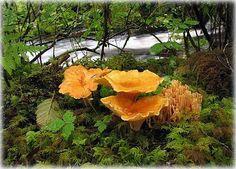 Wild Mushrooms - Cooking Your Catch - SurfTalk ~ Chanterelle ~ Edible