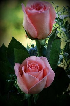 Pink Roses For You ...