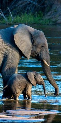 Amazing wildlife - Elephant with baby photo River crossing at the MalaMala Game Reserve, South Africa, photo: Douglas Croft Animals And Pets, Baby Animals, Cute Animals, Baby Elephants, Wild Animals, Photos Of Elephants, Baby Hippo, African Animals, African Elephant