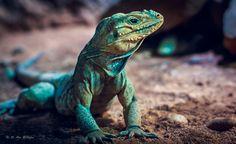 Lizard by Ali Aksi on 500px