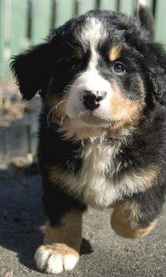 Bernese Mountain Dog Puppy IT'S SO FLUFFY