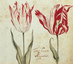 The Most Beautiful Tulip in History Cost as Much as a House   Atlas Obscura