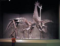 Pentaceratops.jpg (1024×788)