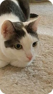 New York, NY - Domestic Shorthair. Meet Bennett, a cat for adoption. http://www.adoptapet.com/pet/13304080-new-york-new-york-cat