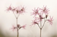 Ragged Robin with rain drops