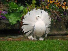 """on """"display""""!  columba livia 0243 by Inga & Jon...Indian Fantail pigeon."""