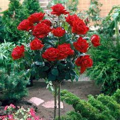 Flores e frases: ROSAS VERMELHAS