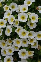 Calibrachoa -- Over Easy (annual)