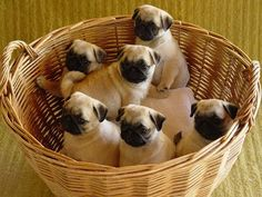 Basket of love! All I want for Valentines Day is a basket full of puglets!