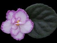 Twist 'n' Shout - Creamy pink, single and semidouble pansies are encircled in halos of glittery red. The dark green, semiminiature foliage has a wonderful growth habit, and is grand for show.  AVSA Reg. #8285  (LLG). Source: Mom