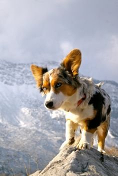 Corgi mixes and mountain hikes always go together.