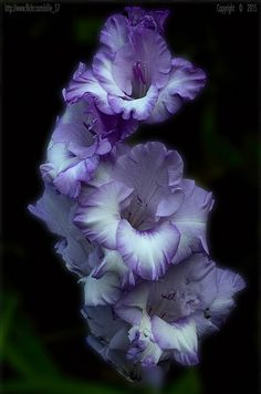 32510601656_7811935bce_b.jpg (678×1024) Gladiolus is a genus of perennial cormous flowering plants in the iris family. It is sometimes called the 'sword lily', but is usually called by its generic name. The genus occurs in Asia, Mediterranean Europe, South Africa, and tropical Africa.Wikipedia Scientific name: Gladiolus Higher classification: Ixieae Rank: Genus wikipedia.org