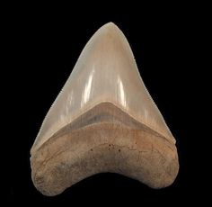 MEGALODON - A Gem Lee Creek Megalodon tooth. Pungo River Formation. Micoene age. Unfortunately, collecting in the Lee Creek mine has been prohibited since 2008.