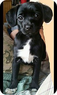 Staten Island, NY - Dachshund/Pomeranian Mix. Meet Aster, a puppy for adoption. http://www.adoptapet.com/pet/13011709-staten-island-new-york-dachshund-mix