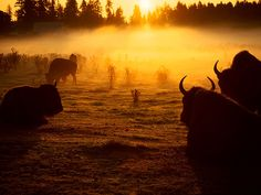 Buffalo at sunrise