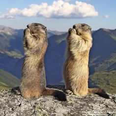 Alpine marmots - Marmota marmotaThe Alpine Marmot, Marmota marmota (Rodentia - Sciuridae), is a stubby animal with short ears, a stout body and hardly any neck, a morphology adapted to the life of a burrower. The forelegs have 4 digits and the hind legs 5. All digits have strong nails. The retina of this rodent is totally devoid of rods and therefore unsuitable for night vision. It is also devoid of a fovea, giving the animal a visual acuity certainly better than that of other rodents, ...