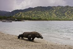 TouristLink features 26 photos of Komodo National Park. Pictures are of Komodo National Park Lagoon, Kanawa Island and 24 more. See pictures of Komodo National Park submited by other travelers or add Puerto Princesa, Lombok, Komodo National Park, National Parks, Komodo Island, Kangaroo Island, Tourist Spots, Small Island, Natural Wonders