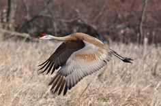 Sandhill Cranes sometimes visit our house. The morning flyovers with their prehistoric sounding call are hard to miss.