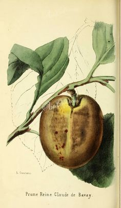 fruits-04045 - Plum [2412x4152]