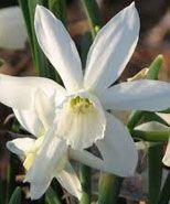 'thalia' narcissus (pinselilje)  Camilla plums yndling..