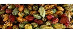 #Cacao. El árbol de cacao  es originario de Amazonia y se extendió hasta México por las rutas comerciales mantenidas antiguamente, también el cacao fue utilizado como moneda de intercambio comercial. Antiguamente los mayas y los aztecas veían al cacao como un fruto sagrado. La manteca de cacao contiene... | TeQuieroBio.com