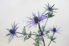 Price Rights Managed Image Botanical Drawings, Botanical Illustration, Botanical Prints, Flower Prints, Flower Art, Scotland National Flower, Holly Plant, Thistle Tattoo, Sea Holly