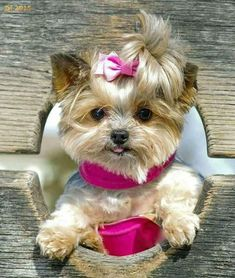 Dogs, yorkie и cute dogs. Tiny Puppies, Puppies And Kitties, Cute Puppies, Cute Dogs, Poodle Puppies, Yorkies, Yorkie Puppy, Yorkie Hair, Teacup Yorkie