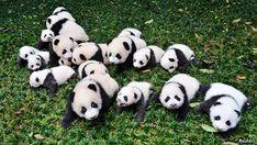 Giant pandas - Survival of the cutest | China | The Economist Funny Panda Pictures, Panda Funny, Cute Panda, Wolverine Xmen, Tortoise As Pets, Tortoise Cage, Panda Lindo, Panda Bebe, Panda Costumes