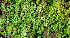 Sedum, en plante som trives overalt