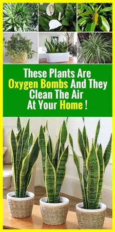 This Plants Is The Absolute Oxygen Bomb! Healthy Holistic Living, Healthy Living, Everything Is Possible, Plantation, Natural Cures, Healthy Tips, Good To Know, Indoor Plants, Bamboo Plants