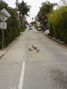 ducks  crossing the road in Venice LA