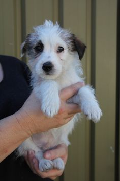 maltese rat terrier mix wire fox terriers fox terriers and terrier mix on pinterest 6679