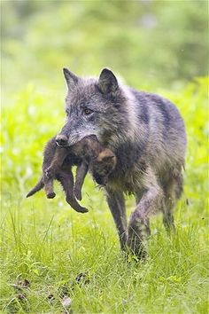 A timberwolf mother carries her cub.