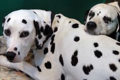 Are Dalmatians good family dogs? - HowStuffWorks