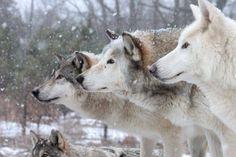 Wolf dogs Dog Id, Husky, Wildlife, Pets, Wolf Dogs, Bro, Sign, Friends, Google