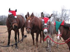 Amy Cooper shares this photo with us and we can see her horses were full of Christmas spirit! I think this makes a great Christmas card!