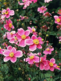 Anemone hupehensis 'Hadspen Abundance' 2 feet tall, 16 inches wide. Ideal growing conditions: full sun to part shade, moist soil