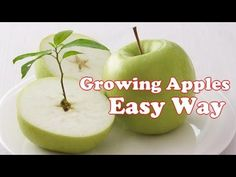 How to grow an apple tree from seed the easy way! Quick growing apple trees get you closer to your first Apple! How to grow an apple tree from the one you bo...