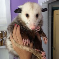 Rescued Opossum Loves To Cuddle With Her New Family