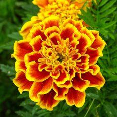 Marigold. (So beautiful.) Cruelty, grief, jealously.