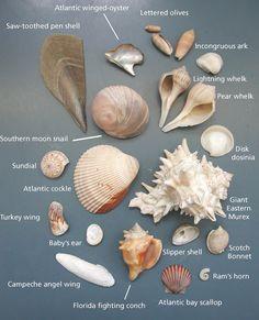 Common seashells of the~~Padre Island National Seashore!!!