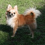 A small fluffy dog breeds list including 29 fluffy small dogs. A guide on which is the best dog for you and a top 10 awards with winners from each category. Small Fluffy Dog Breeds, Fluffy Dogs, Small Dogs, Dog Breeds List, Cute Dogs Breeds, Dog Breeds That Dont Shed, Best Dogs, Chihuahua, Animals