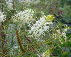 Grevillea intricata: A dense, spreading, very attractive shrub with long, finely divided and silvery green in colour. The divided leaves appear needle-like and give the shrub a delicate texture. Cylindrical spikes of creamy white flowers are borne sporadically throughout the year.  It can stand some frost but not heavy and prolonged.