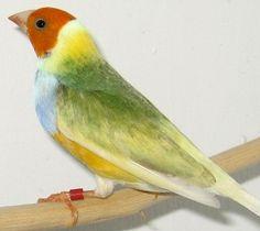 Lady_Gouldian_Finch_Australia_Yellow_cock_bird_orange_head.png (336×300)
