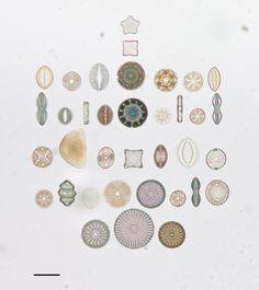 algue microscope geometrie 07 712x800 Des arrangements géométriques de micro algues diatomées au microscope  technologie art