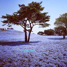 A sea of baby blue eyes, Spring, Hitachi Seaside Park, Japan