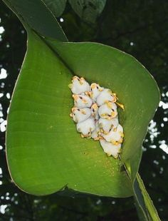 Honduran White Bats - tiny bats that look like marshmallows and live in tents :)