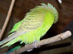 birds birds birds Fancy Parakeet, Black Spot, Black And White, Albino, Budgies