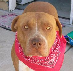 Meet Red, a Petfinder adoptable Staffordshire Bull Terrier Dog   Santa Ana, CA   If you are interested in meeting this dog at our weekly adoption event on Saturdays at the Petsmart...