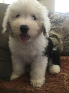 Meet Kaylee my friends new puppy, 10 weeks old today! Fluffy Dogs, Fluffy Animals, Cute Baby Animals, Cute Dogs And Puppies, I Love Dogs, Doggies, Lab Puppies, Sheep Dog Puppy, Sheep Dogs